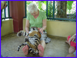 play with tigers in enclosures