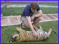 Touching the Tiger at Tiger Kingdom