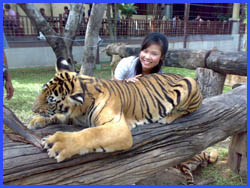 Visit and play with the Tigers in encloser
