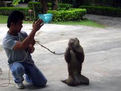 Monkey Centre in Chiang Mai, Mae rim area