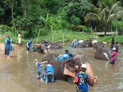 Enjoy bath and swim with our elephants in the river that borders our park. Discover how to communicate with them and learn with the Mahout. Feed Elephants with favorite fresh foods from the market