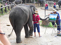 Elephant at work at Mae Sa Elephant Camp & Karen Longneck Tribe & Orchid & butterfly farm