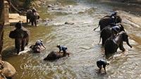 Watch the elephants bathing at Maetaeng River before  elephant show