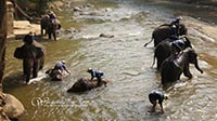 Watch the elephants bathing at Maetaeng River before  elephant show