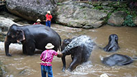 Watch the elephants bathing at Maesa before  elephant show