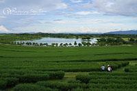 Singh Park Tea Plantation