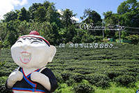Doi Mae Salong Tea Plantation