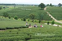 Chuifong Tea Plantation (Green Tea Plantation)