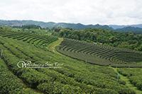 Visit Choui Fong Tea Plantation